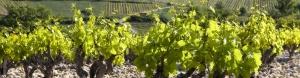 Odrůdy vína