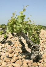 Domaine Grand Veneur - vinice Chateauneuf-du-Pape
