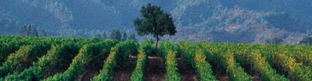 Globální odrůdy vína