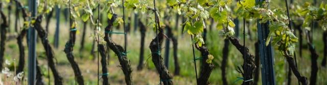 Lokální odrůdy vína
